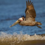 2340 Brown Pelican (Pelicanus occidentalis)
