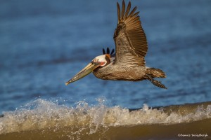 2340 Brown Pelican (Pelicanus occidentalis)