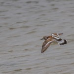 2345 Ruddy Turnstone (Arenaria interpres)