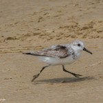 2346 Sanderling (Calidris alba)