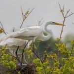 2348 Great Egrets, Nesting (Ardea alba)