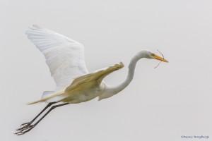 2349 Great Egret (Ardea alba)