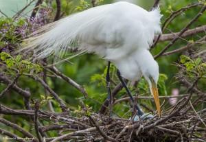 2350 Great Egret (Ardea alba)