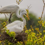 2351 Great Egret (Ardea alba)