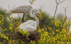 2351 Great Egret (Ardea alba)