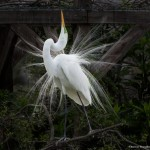2353 Great Egret (Ardea alba), Breeding Plumage