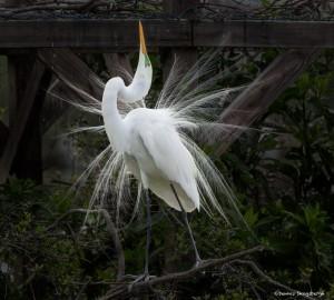 2353 Great Egret (Ardea alba), Breeding Plumage