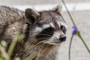 2354 Raccoon