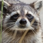 2355 Raccoon