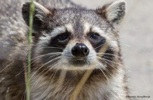 2355 Raccoon