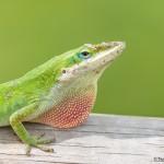 2360 Carolina Anole Lizard (Anolis carolinensis)