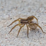 2362 Wolf Spider with Egg Case (Hogna helluo)