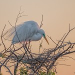 2363 Sunrise, Great Egret (Ardea alba), Nest Building