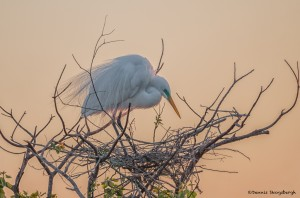 2363 Sunrise, Great Egret (Ardea alba), Nest Building