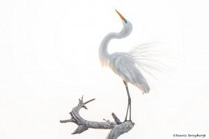 2364 Sunrise, Great Egret (Ardea alba), Breeding Plumage, Displaying