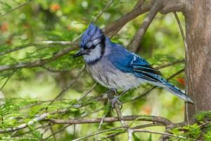 2368 Blue Jay (Cyanocitta cristata)