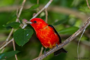 2370 Scarlet Tanager (Piranga olivacea)