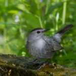 2372 Gray Catbird (Dumetella carolinensis)