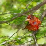 2373 Immature Male Summer Tanager (Piranga rubra)
