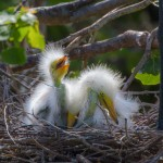 2377 Great Egret Chicks (Ardea alba), 1 week,