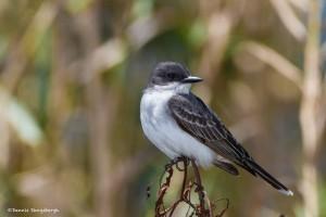 2378 Eastern Kingbird (Tyrannus tyrannus)