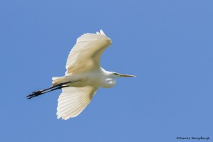 2379 Great Egret (Ardea alba)