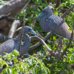 2380 Tri-colored Herons, Nest-building (Egretta tricolor), Rookery at High Island, TX