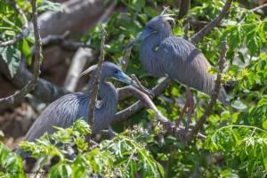 2380 Tri-colored Herons, Breeding Plumage, Nest-building (Egretta tricolor)