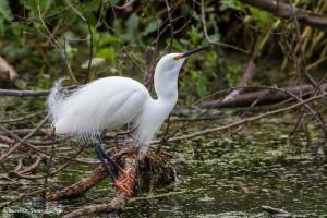 2382 Snowy Egret, Breeding Colors (Egretta thula)
