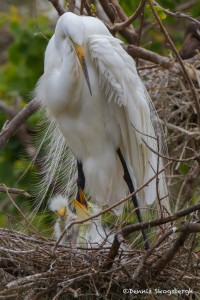 2383 Great Egret with Chicks (Ardea alba), 1 week