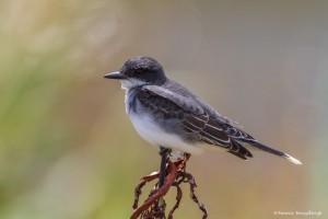 2385 Eastern Kingbird (Tyrannus tyrannus)