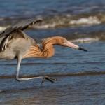 2387 Reddish Egret (Egretta rufescens)