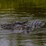 2388 Alligators, Courtship Ritual