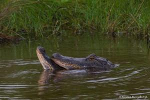 2389 Alligators, Mating