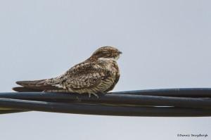 2391 Common Nighthawk (Chordeiles minor)