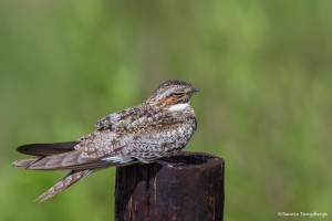 2395 Common Nighthawk (Chordeiles minor)