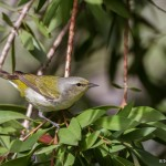 2397 Tennessee Warbler (Oreothylpic peregrinia)