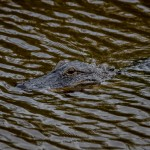 2407 Alligator