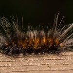 2408 Virginian Tiger Moth Caterpillar (Spilosoma virginicana)