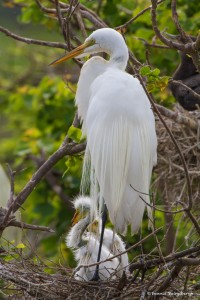 2410 Great Egret with Chicks, 3 Weeks Old