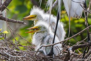 2411 Great Egret Chicks, 3 weeks