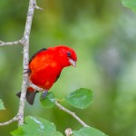 2412 Scarlet Tanager (Piranga olivacea)