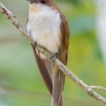 2413 Black-billed Cuckoo (Coccyzus americanus)
