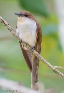 2413 Black-billed Cuckoo (Coccyzus americanus)