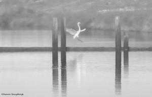 2416 Great Egret, B&W