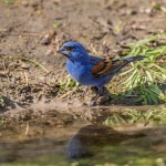 2420 Blue Grosbeak (Passerina caerulea)