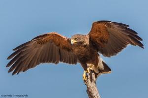 2423 Harris's Hawk (Parabuteo unicinctus)