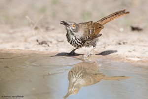 2424 Long-billed Thrasher (Toxostoma longirostre)