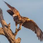 2426 Harris's Hawk (Parabuteo unicinctus)
