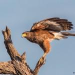 2427 Harris's Hawk (Parabuteo unicinctus)